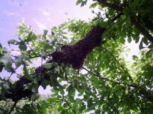 Процесс роения пчел