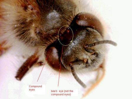 Интересное о пчелах и о меде