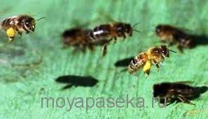 Что делать, если ужалила пчела