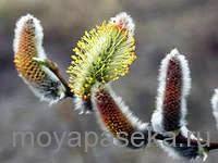 Ива растение-медонос
