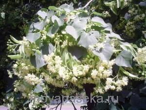 Липа растение-медонос