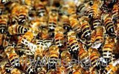 Пчела итальянской породы
