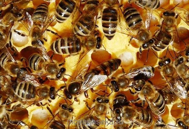украинская степная пчела