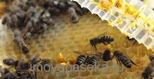 кавказская серая пчела