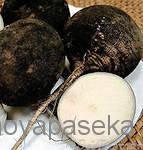 Народное средство для лечения кашля: черная редька с медом