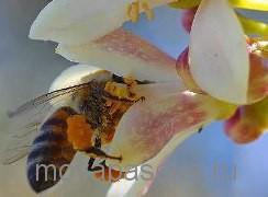 Выбираем породу пчелы