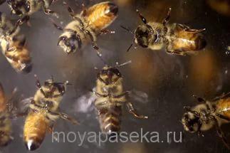 Пчел раздражает запах пота, табака и пчелиного яда.