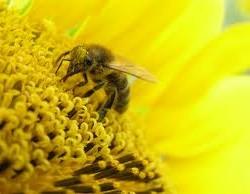 Пчела - опыление растений