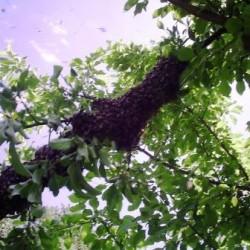 Вылетевший рой пчёл