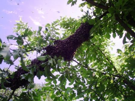 Процесс роения пчел - рой вылетел из улья