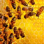 Молодая пчела