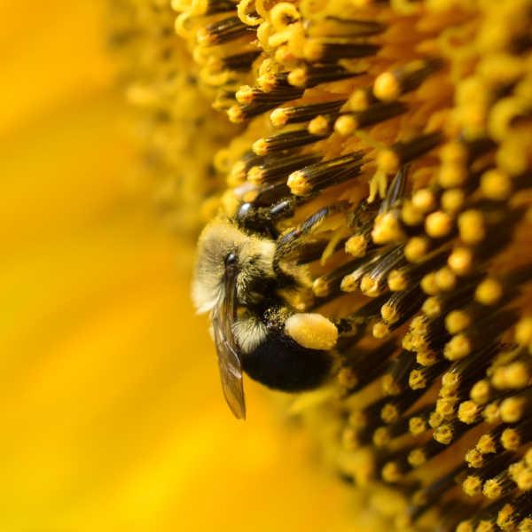 Пчела с пыльцой в корзиночках
