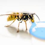 пчела на водопое