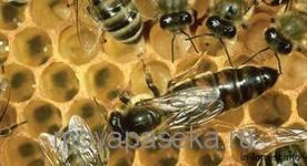 Матка в пчелиной семье