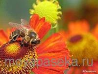 Рабочая пчела в пчелиной семье