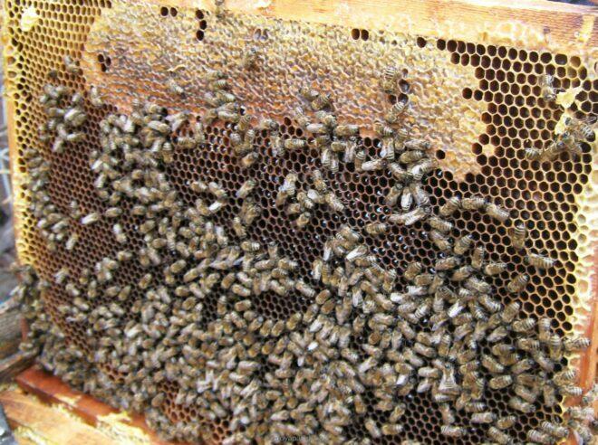Плохое развитие пчелиной семьи при нозематозе