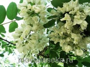 акация растение-медонос