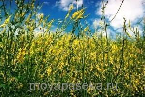 Донник растение-медонос
