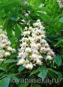 Каштан растение-медонос