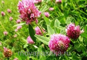 Клевер растение-медонос