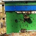ранний облет пчёл весной