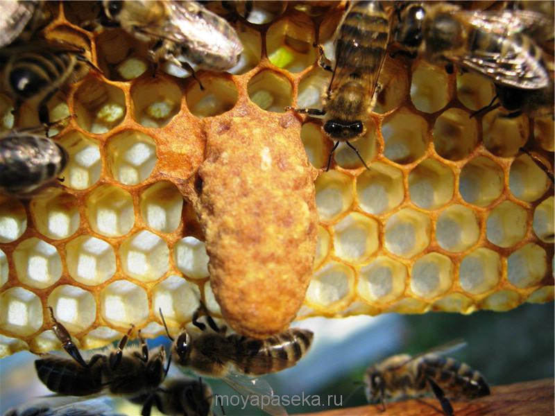 Маточник пчелы