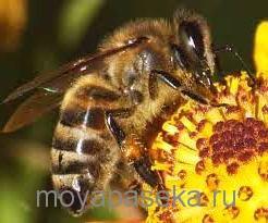 среднерусская порода пчёл