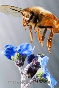 дальневосточная пчела