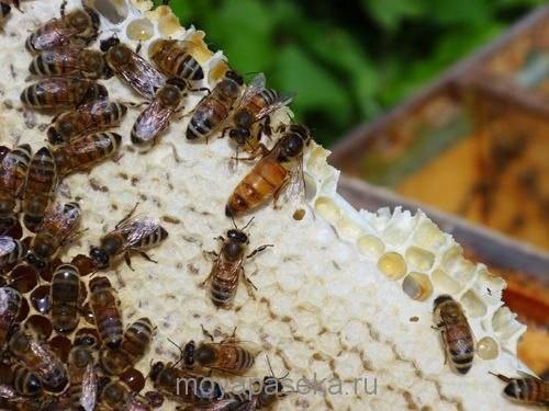 Выбираем породу  пчёл