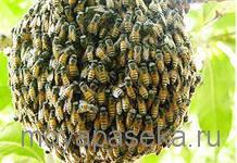 Обмен опытом пчеловода по использованию ловушки для роя