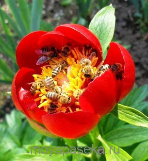 Пчёлы делают Майский мёд