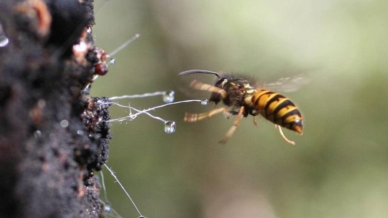 пчела собирает падь