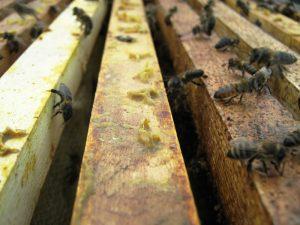 пчёлы закрывают прополисом щели в улье